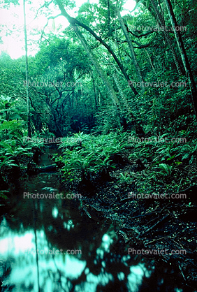 Rain Forest, Stream, babbeling brook, Ferns