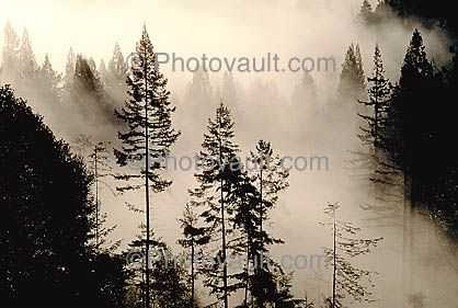 forest, foggy, early morning fog, southern Humboldt County