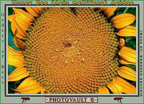 Sunflower, Round, Circular, Circle