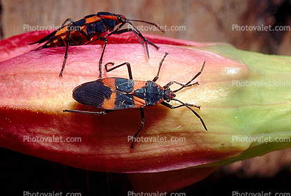 Milkweed bugs on a flower!