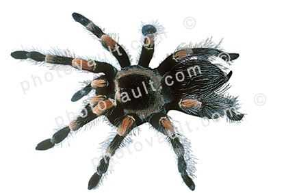 Orange-Kneed Tarantula, (Euathlus emelia), Theraposidae, photo-object, object, cut-out, cutout