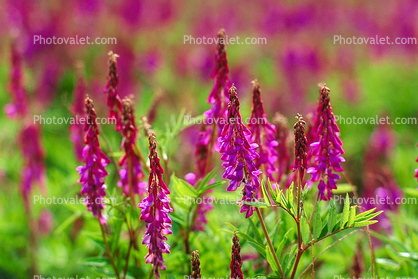 Fireweed, a.k.a. willow herb