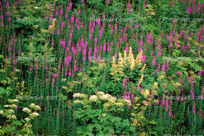 Fireweed, a.k.a. willow herb, field