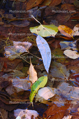 Decaying Leaves, decay, leaf, water, decomposing