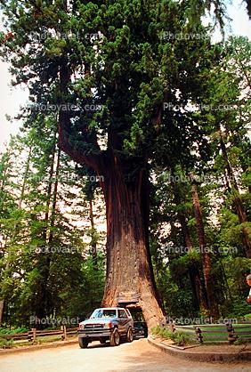 Chandelier Tree, Car-through-a-tree, Drive-Through-Tree, Tree ...