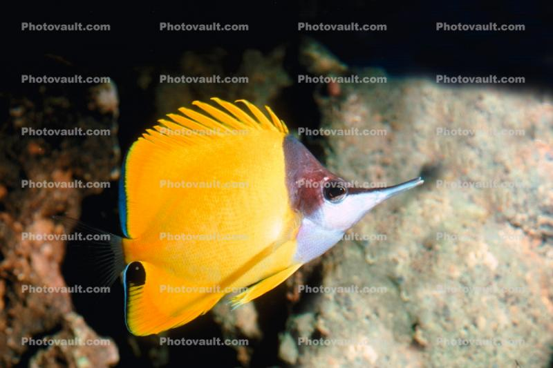 Long-nose Butterfly Fish, (Forcipiger flavissimus)