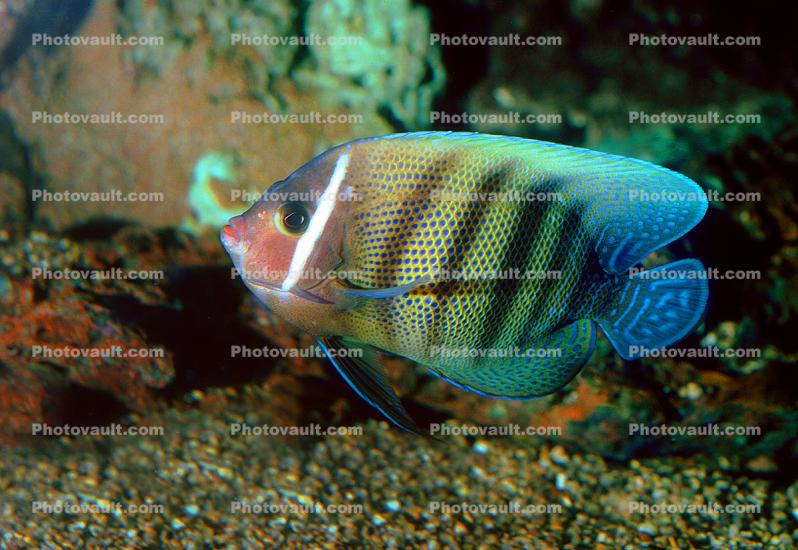 Angelfish, Butterflyfish