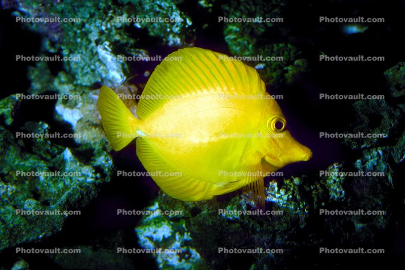 Yellow Tang, (Zebrasoma flavescens), Perciformes, Acanthuroidei, Acanthuridae, surgeonfish
