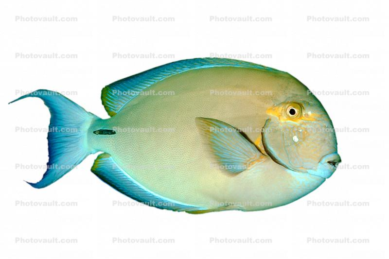 Tang photo-object, object, cut-out, cutout, Acanthuridae