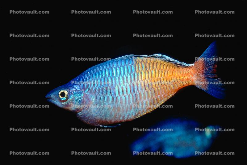 Rainbowfish, Banded Rainbowfish, (Melanotaenia trifasciata)