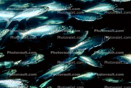 Winter Run Salmon, Beluga Sturgeon, (Huso huso), Acipenseriformes, Acipenseridae, Volga Sturgeon
