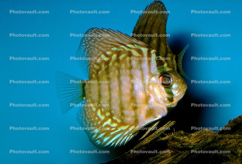 Discus Fish, (Symphysodon discus), Cichlid, Cichlidae, Perciformes, Brazil, Heroini , Beluga Sturgeon, (Huso huso), Acipenseriformes, Acipenseridae, Volga Sturgeon