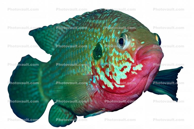 African Jewelfish photo-object, object, cut-out, cutout, Jewel Cichlid, (Hemichromis bimaculatus), Perciformes, Hemichromini, Pseudocrenilabrinae, [Cichlidae], Cichlids