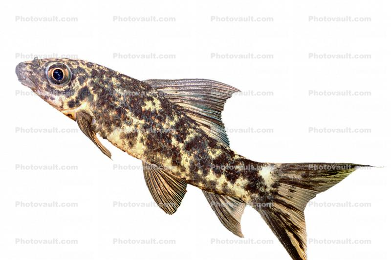 Variegated Labeo photo-object, object, cut-out, cutout, (Labeo cyclorhynchus), Cyprinid, Animalia, Chordata, Actinopterygii, Cypriniformes, Cyprinidae