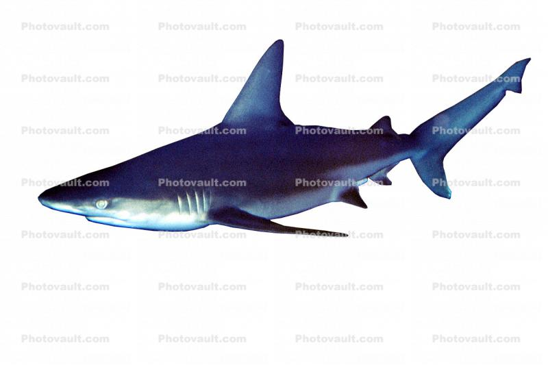 Shark object, photo-object, object, cut-out, cutout
