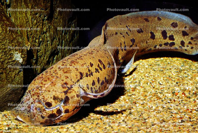 West African Lungfish, (Protopterus annectens), Dipnoi, Lepidosireniformes, Protopteridae, tetrapod