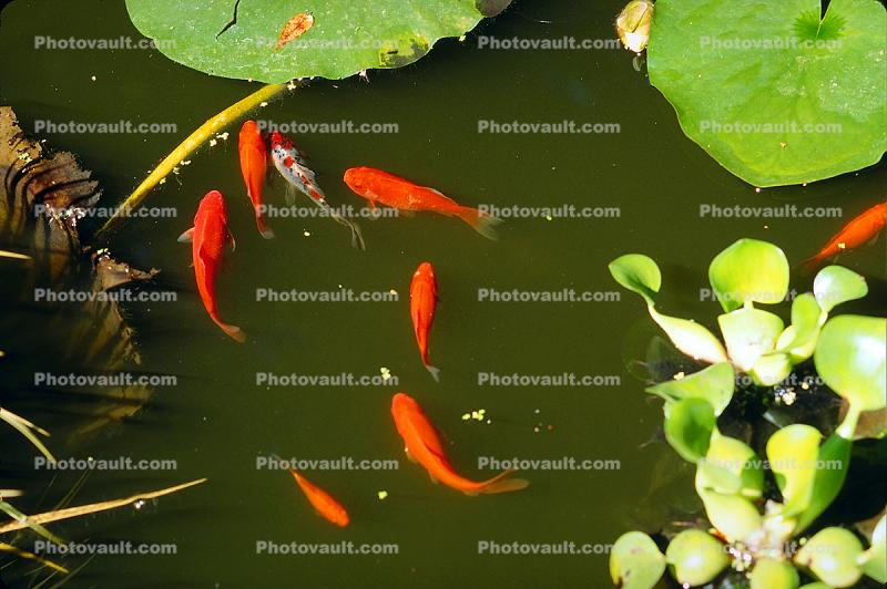 Comet Goldfish and Water Hyacinth, Pond