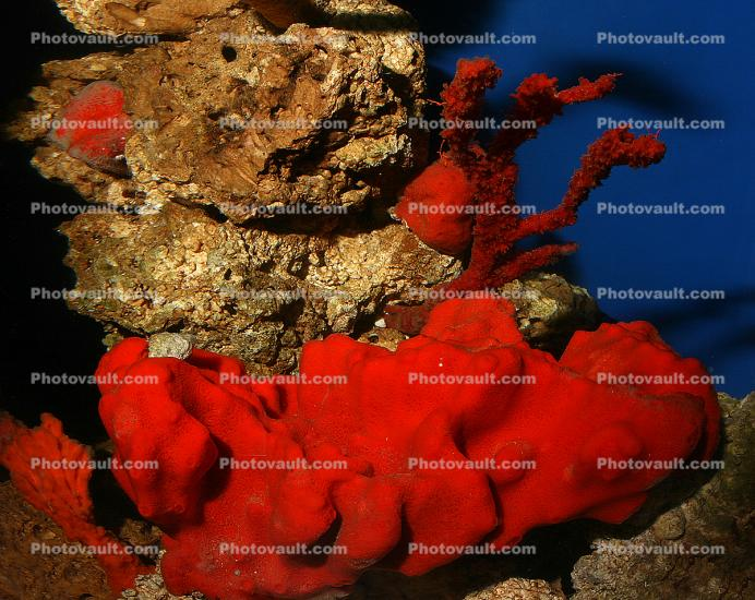 Red Finger Sponge