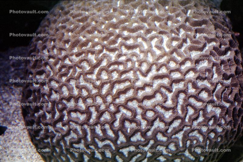 Brain Coral, Living Rock