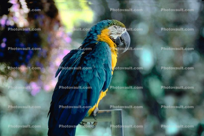 Blue and Gold Macaw, (Ara ararauna)