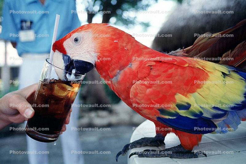 Parrot, Scarlet Macaw, (Ara macao)