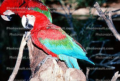 Green-winged Macaw, (Ara chloroptera)