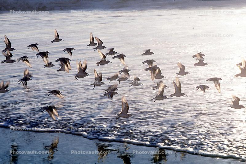 Drakes Bay, waves, shorebirds