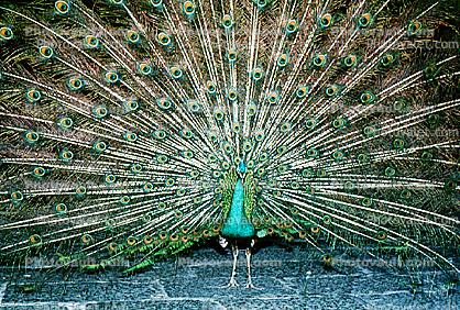 Peacock, Phasianidae, Phasianinae, Peafowl, pheasant, extravagant eye-spotted tail, eyes, iridescent, feathers, plumage