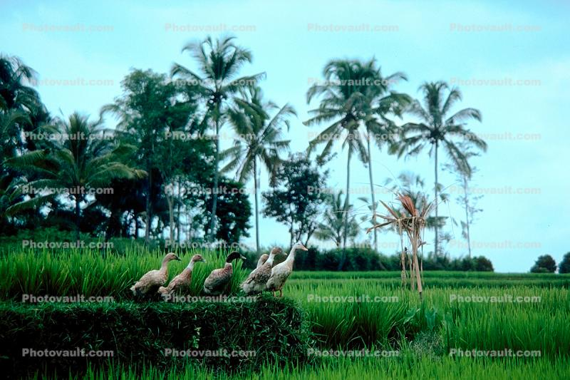 Ducks, Rice fields, palm trees