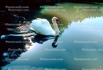 Swan, Reflection, pond, lake