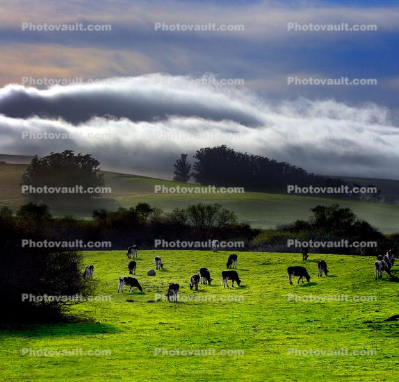 Cows, Cattle, Hills, Valley Ford, Bloomfield, Fog, Sonoma County