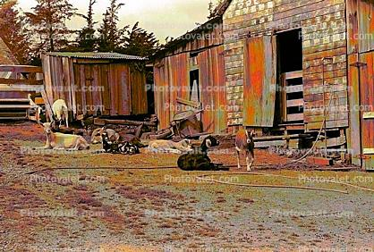 goats, barn, Shed, outdoors, outside, exterior, rural, building, Cotati, Sonoma County, Psychedelic, psyscape