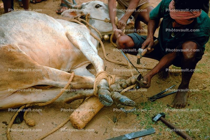 Preparing a Cow for Slaughter