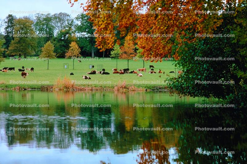 cow, water, pond, fall colors, Autumn, Trees, Vegetation, Flora, Plants, Colorful, Beautiful, Magical, Woods, Forest, Exterior, Outdoors, Outside, Bucolic, Rural, peaceful, woodlands