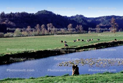 Cows, near Tillamook, Oregon Coast