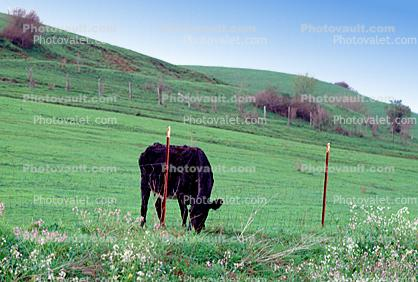 Cow, The Grass is Greener on the Other Side, Sonoma County, California