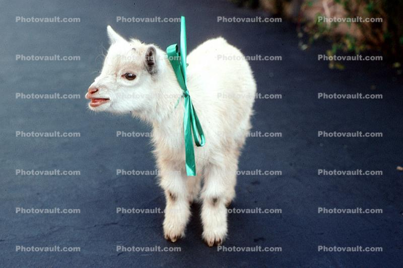 baby goat, ribbon, Christmas Gift for Janet