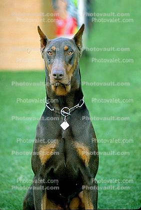Doberman Pinscher, large dog breed, Police Dog