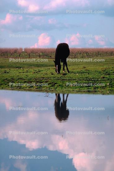 Horse, Horse Reflecting in a Lake, Merced County