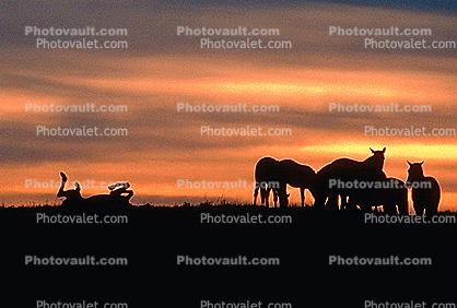 Horses in The Sunset, Rancho Seco