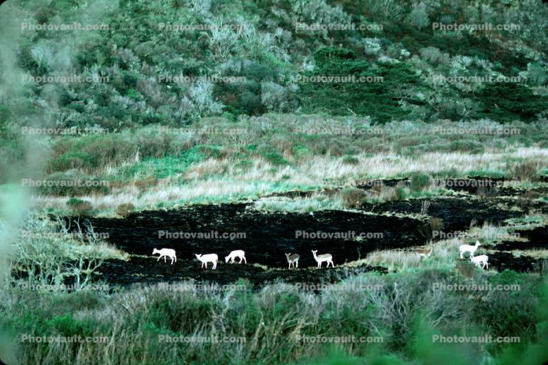 The White Deer of Point Reyes