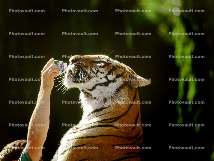 Bottle Feeding a Tiger