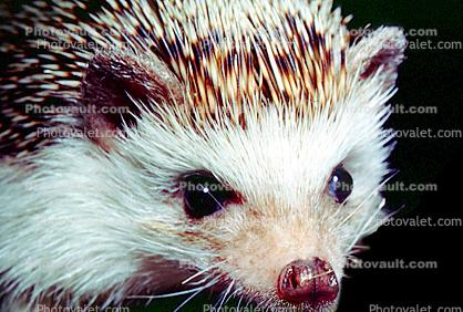 Hedgehog, Eyes, wet nose