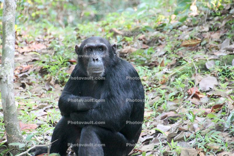 Chimpanzees, (Pan troglodytes schweinfurthii), Hominidae, Chimps, Mahale Mountains National Park, Tanzania