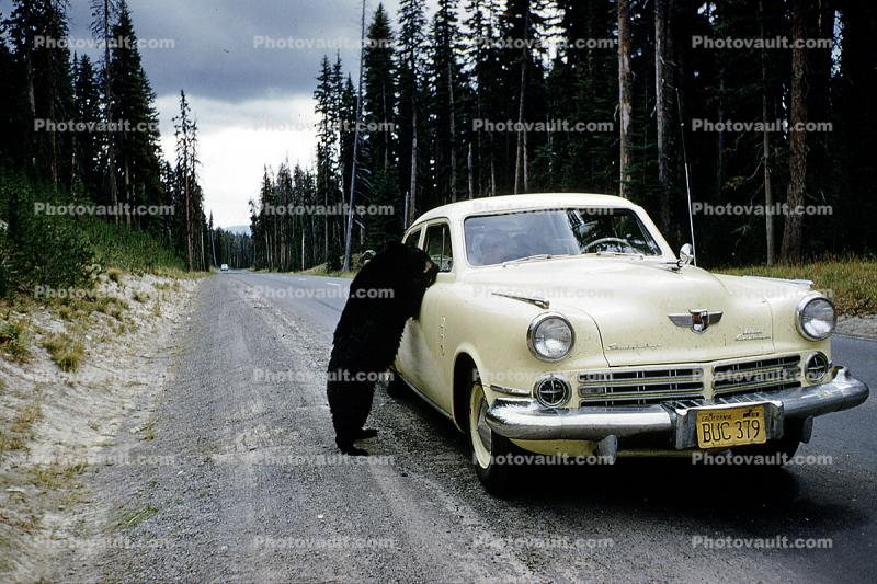 Begging Bear, Studebaker Commander, Sedan, Cars, automobile, vehicles, 1956, 1950s