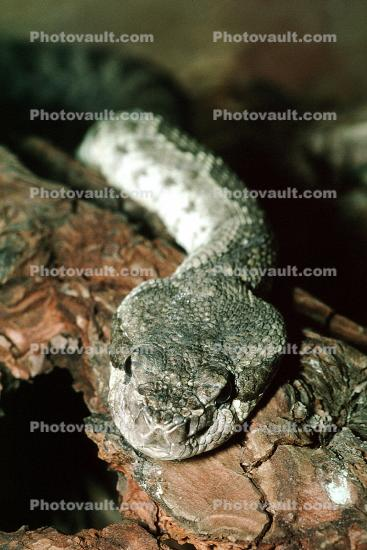 Southern Pacific Rattlesnake, Viper, Venomous, Deadly, Scales, Skin, Viperidae, Crotalinae, Crotalus