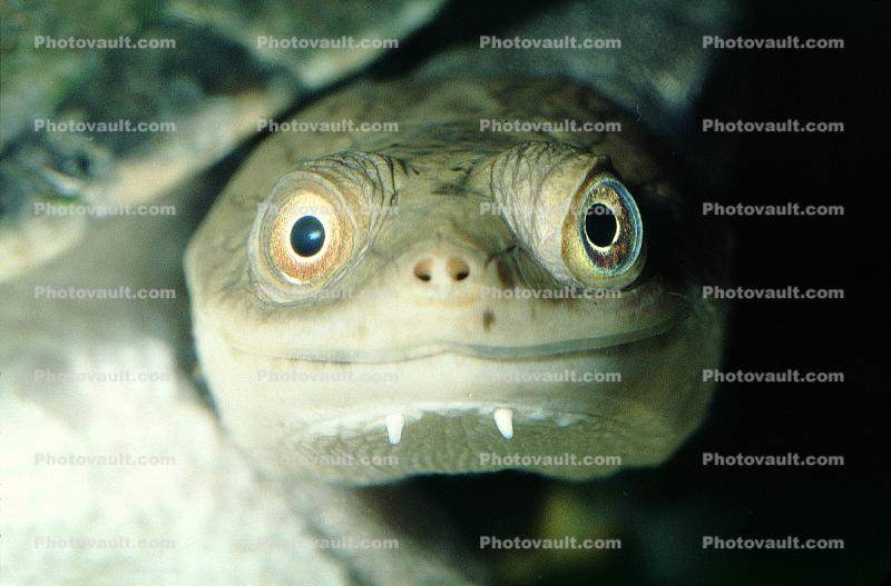 smiles, face, smiling, eyes, New Guinea Side Neck Turtle, (Chelodina siebenrocki), Pleurodira, Chelidae, funny face