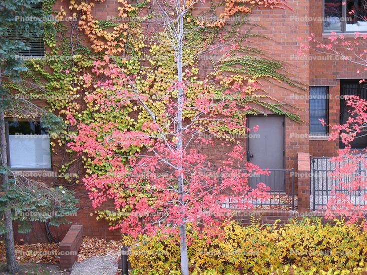 Tree, Brick Wall, Ivy, autumn