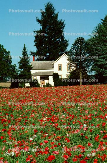 flower fields, home, house, building