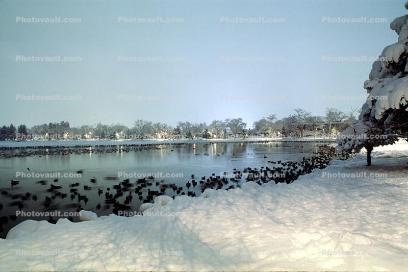 Lake, water, ducks, cold, ice, snow